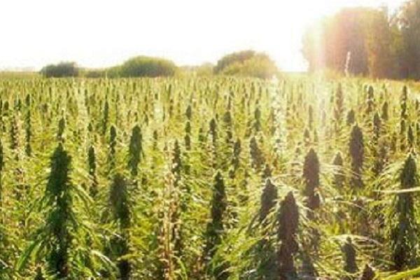 talee-di-cannabis